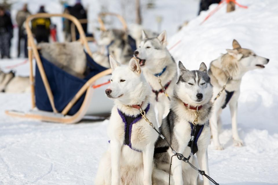 husky sled-dogs