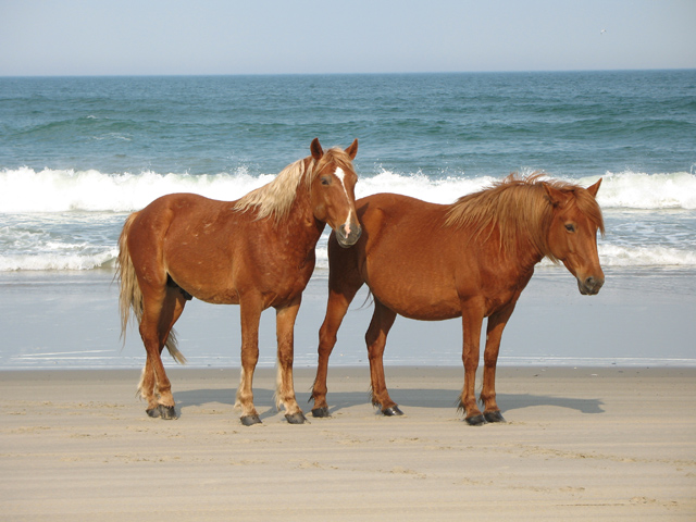 corolla horse