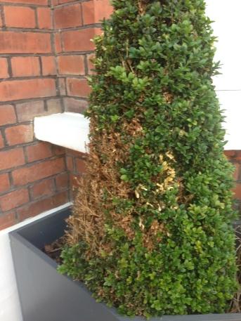 topiary rot