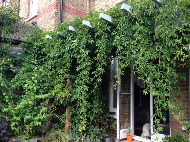 overgrown wisteria