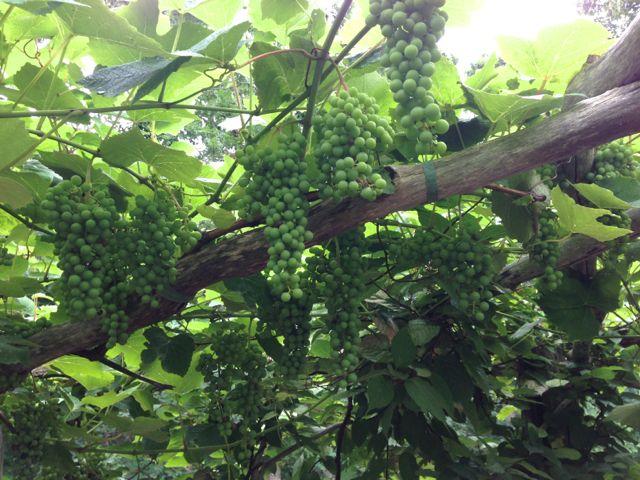 martha's vineyard grapes